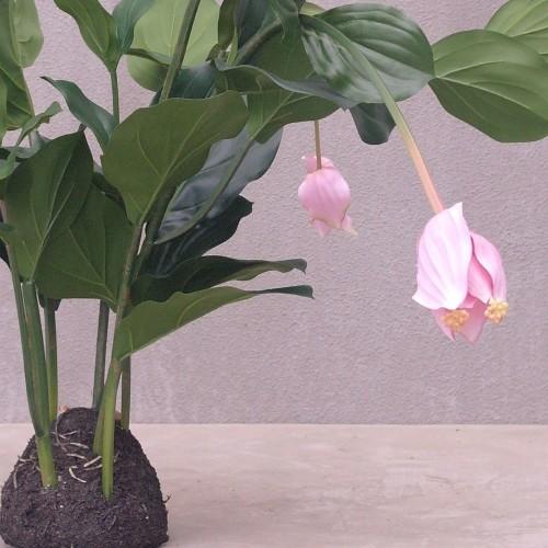 Kunstplant Medinilla